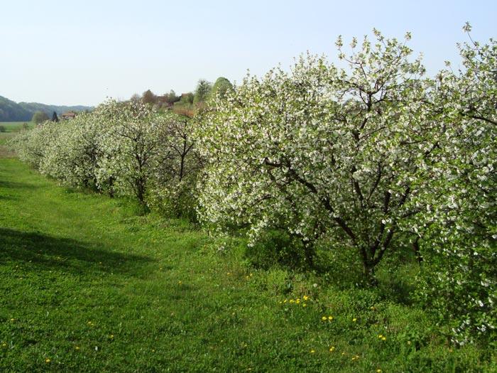 Višnje cvjetaju