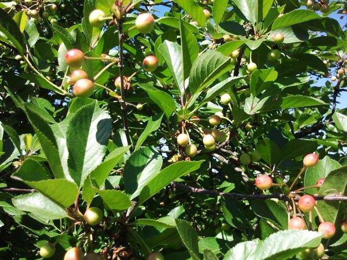 Zelene višnje